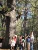 Grandmother Tree 2